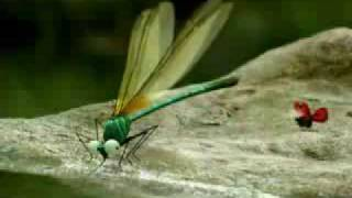 Minuscule dragonflys bully other insects