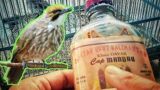 Minyak Dayak Untuk Mengobati Burung Lumpuh