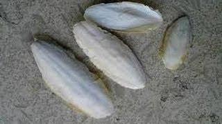 زبد البحر لتنحيف البطن وازالة الخطوط والسيلولايت