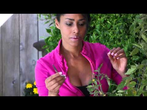 how-to-cut-tomato-leaves-to-produce-more-fruit-:-the-chef's-garden