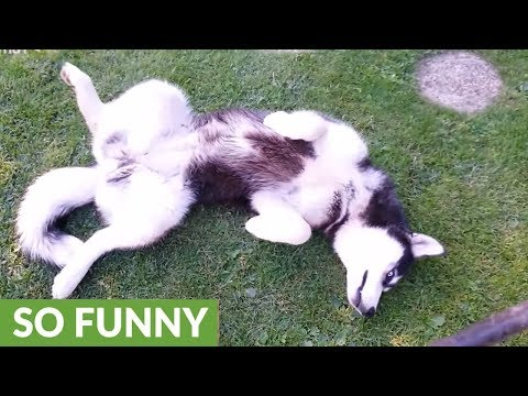 Goofy husky can't stop chasing her own tail