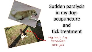 Sudden paralysis in my dog-acupuncture and tick treatment