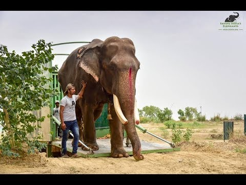 Gajraj The 70-year-old Elephant Rescued After 50 Years Of Life In Chains Has Arrived At ECCC