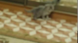 Сибирская кошка. котенку 1 месяц 3 дня. Дракоша.