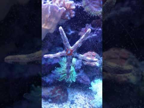 Nardoa Sea Star Eating Asterina