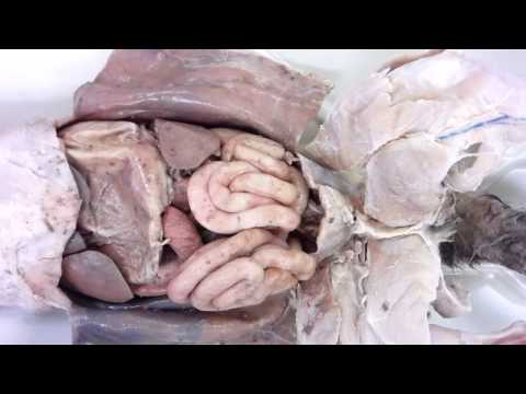 cat-dissection:-opening-the-abdominal-cavity
