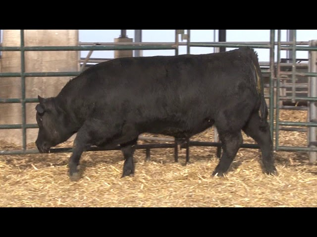 Schiefelbein Angus Farms Lot 55