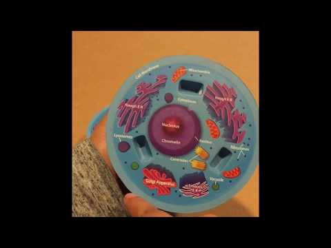 Animal Cell Organelles & Functions