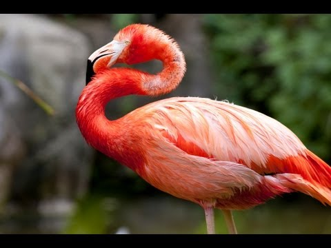 Funny Talking Animals: Michael Jackson Flamingo