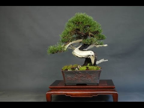 Chinese Juniper Bonsai Tree Care