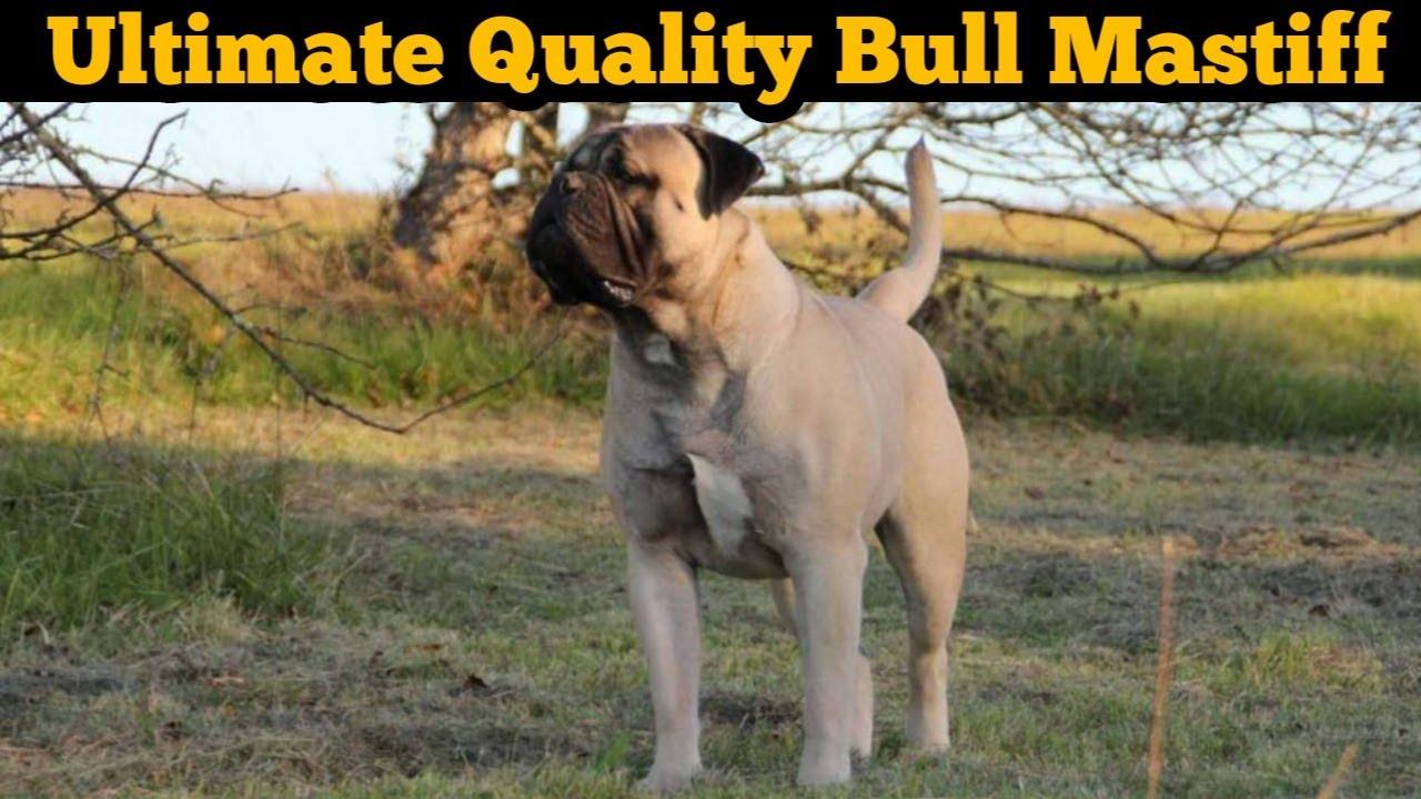 Champion Line Bull Mastiff Dog For Sale   ultimate quality bullmastiff dog for sale in low price  