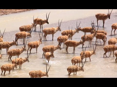 Chinese Scientists Witness Tibetan Antelopes