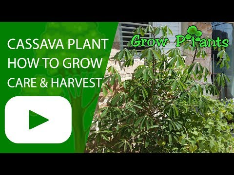 Cassava plant - growing and care
