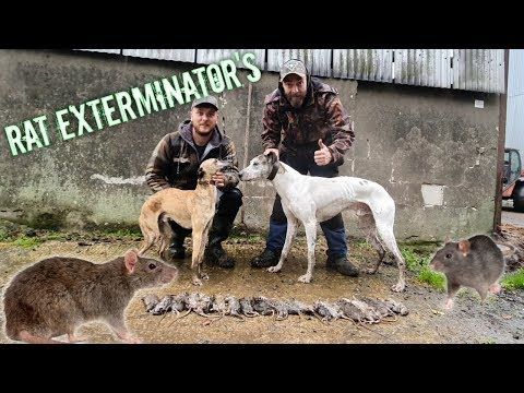 Ratting | Farm Yard Pest Control with Dogs and Slingshots