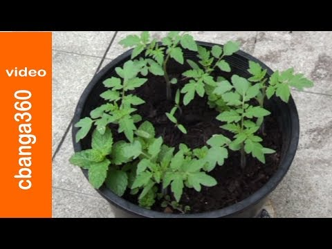 EASY WAY OF PLANTING CHERRY TOMATO SEEDLINGS ON POTS