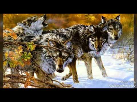 Фото волка