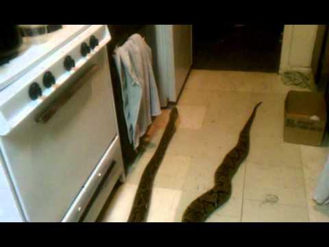 My big snake that keeps getting bigger  YouTube