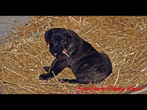 Genetic Giant gene Dogo Canario Puppies 30 days