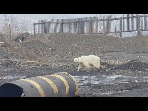AFP: Russie: un ours blanc affamé repéré à plus de 800 km de son habitat   AFP