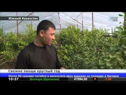 В Южном Казахстане активно развивается тепличный бизнес
