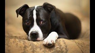 Ам Стафф Am Staff  Бойцовая Собака нужна ли вакцинация