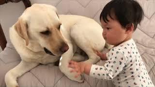 チャンネル登録はこちら http://urx.blue/DehZ Bow (Labrador retreiver...