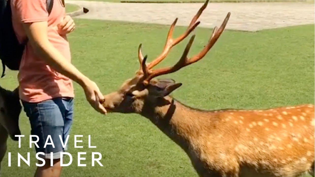 Hundreds of Deer Live in Japan's Nara Park
