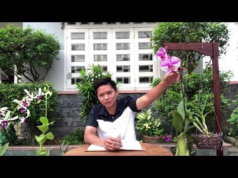 TẠI SAO HOA LAN RỤNG NỤ VÀ KHÔ- Chăm sóc hoa lan   Foci