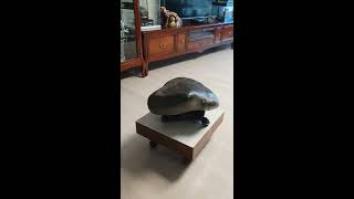 국보급 대형 거북 수석