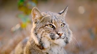 The Mystery and Magic of Bobcats