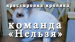 Дрессировка кролика. Команда «Фу» или «Нельзя». Training rabbit