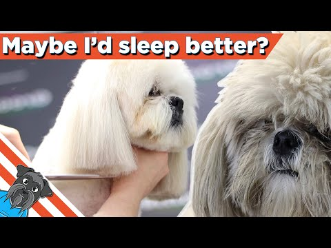 How to grooming lhaso apso - Easy haircut