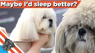 How to grooming lhaso apso  Easy haircut