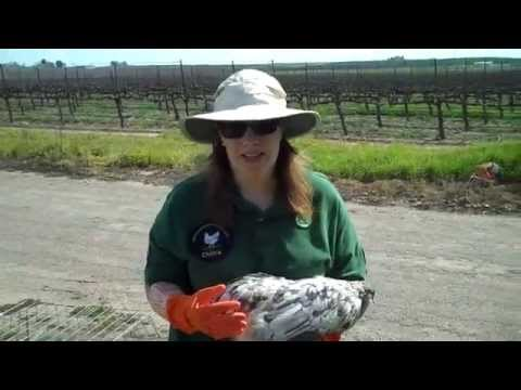 chickens-with-mites-and-lice;-how-to-treat-quickly
