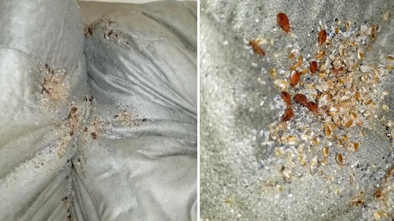 Bed Bugs Take Over Sofa Cushions Youtube