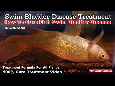 How To Cure Floating Bloated Fish Swim Bladder Goldfish #How To Cure Swim Bladder Disease