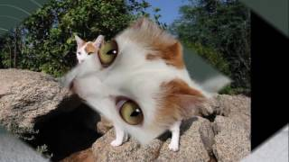 Japanese Bobtail cat History, Personality, Health, Care