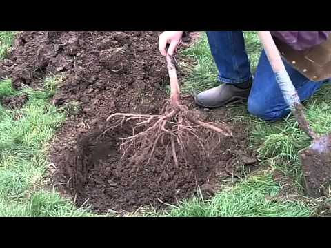 Planting A Bareroot Fruit Tree Youtube