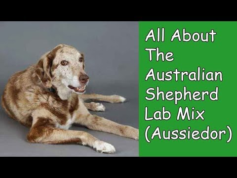 All About The Australian Shepherd Lab Mix (Aussiedor)