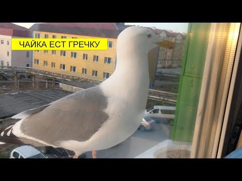 Чайка ест гречку