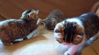 Skittles 3 kittens- Enzo, Mariah and Max are 5 weeks old
