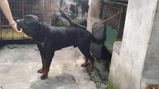 CHó Rottweiler khổng lồ (Giant Rottweiler)