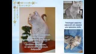 «Клондайк» питомник  британских и шотландских вислоухих кошек.