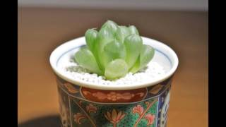 Japanese Flowers and Gardens & Succulent Planting、Haworthia 肉质植...