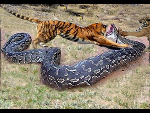 Leopard vs crocodile Jaguar attack giant anaconda Lio ...