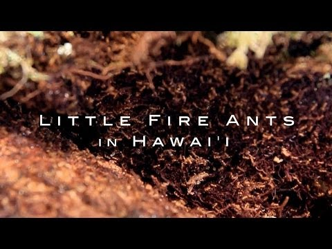 Invasion! Little Fire Ants in Hawaii (2014)