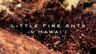 Invasion -  Little Fire Ants in Hawaii