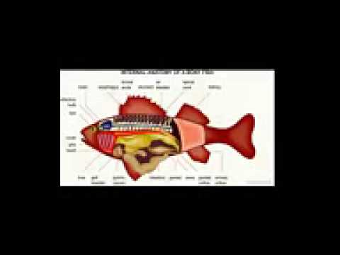 Fish Anatomy 2