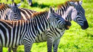 O sawannie Serengeti