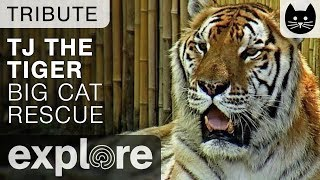 TJ The Siberian/Bengal Tiger - Big Cat Rescue - Tribute
